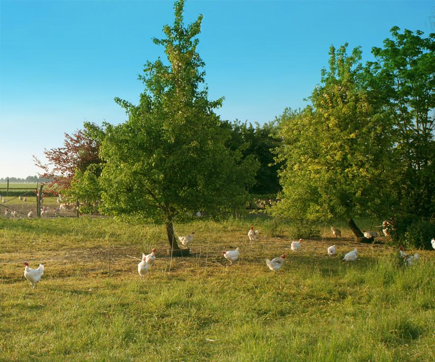 Poulet fermier pattes bleues 100 jours - Auvray Volailles