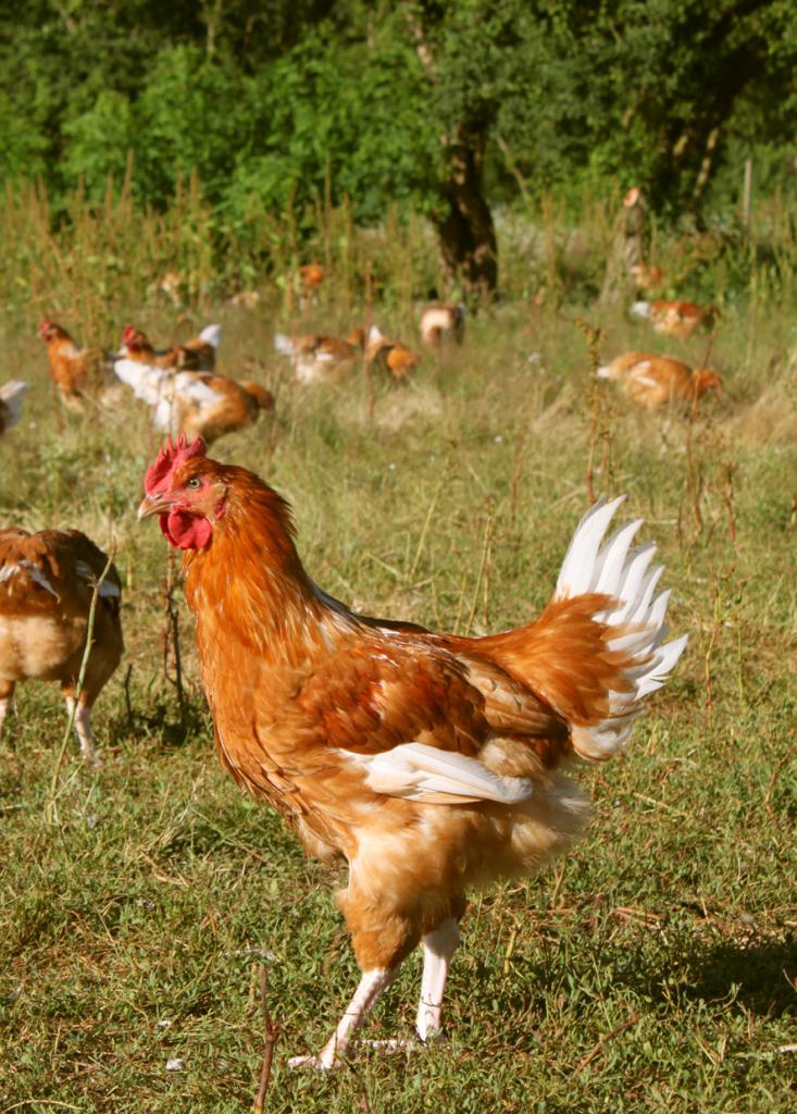 Poulet fermier blanc - Label Rouge – Auvray Volailles